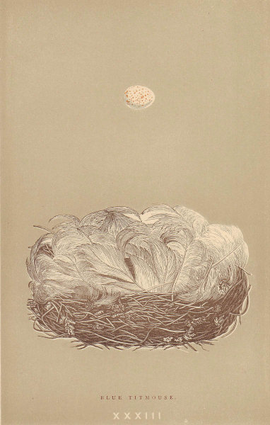 BRITISH BIRD EGGS & NESTS. Blue Titmouse. MORRIS 1896 old antique print