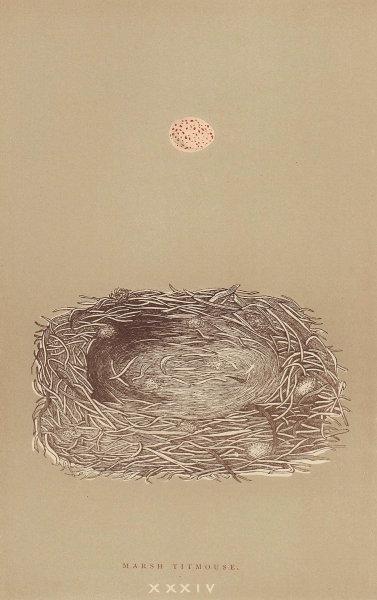 BRITISH BIRD EGGS & NESTS. Marsh Titmouse. MORRIS 1896 old antique print