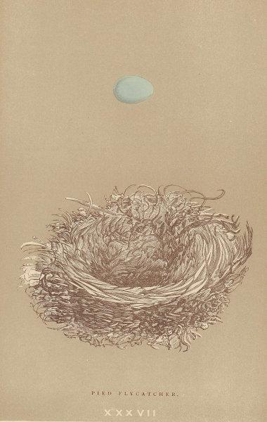 BRITISH BIRD EGGS & NESTS. Pied Flycatcher. MORRIS 1896 old antique print