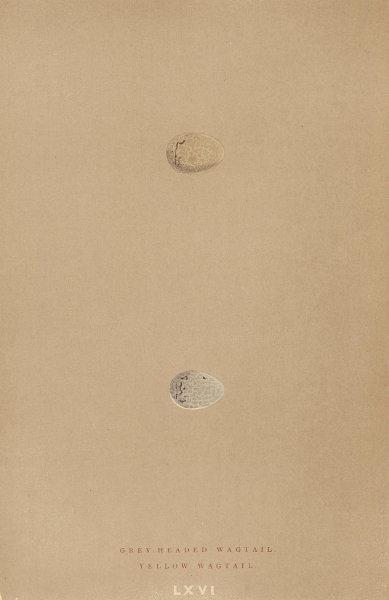 BRITISH BIRD EGGS. Grey headed Wagtail. Yellow wagtail. MORRIS 1896 old print