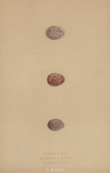 BRITISH BIRD EGGS. Tawny Pipit. Richard's Pipit. Water Pipit. MORRIS 1896