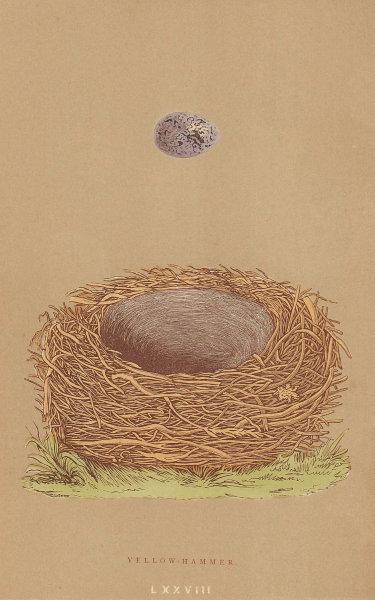 BRITISH BIRD EGGS & NESTS. Yellow-Hammer. MORRIS 1896 old antique print