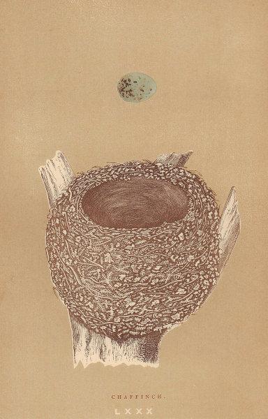 BRITISH BIRD EGGS & NESTS. Chaffinch. MORRIS 1896 old antique print picture