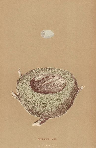 BRITISH BIRD EGGS & NESTS. Goldfinch. MORRIS 1896 antique print picture