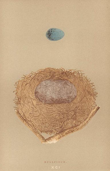 BRITISH BIRD EGGS & NESTS. Bullfinch. MORRIS 1896 old antique print picture