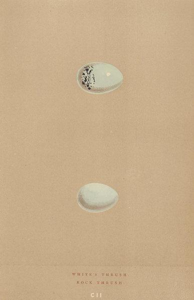 BRITISH BIRD EGGS. White's Thrush. Rock Thrush. MORRIS 1896 old antique print