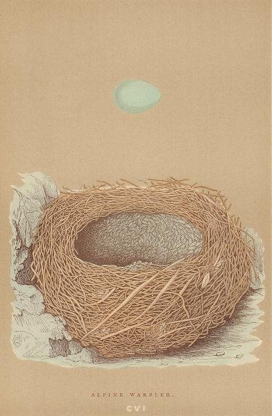 BRITISH BIRD EGGS & NESTS. Alpine Warbler. MORRIS 1896 old antique print