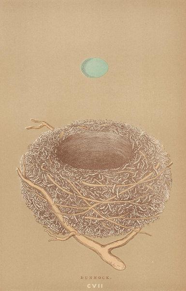 BRITISH BIRD EGGS & NESTS. Dunnock. MORRIS 1896 old antique print picture