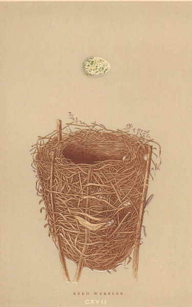 BRITISH BIRD EGGS & NESTS. Reed warbler. MORRIS 1896 old antique print picture