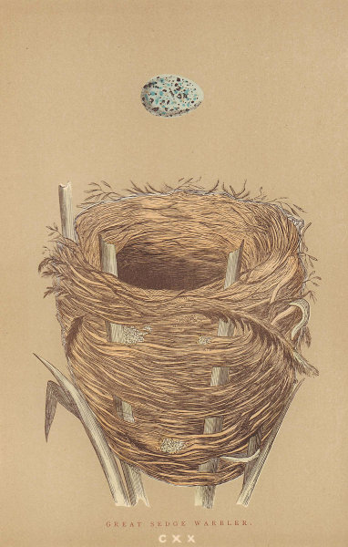 BRITISH BIRD EGGS & NESTS. Great Sedge Warbler. MORRIS 1896 old antique print