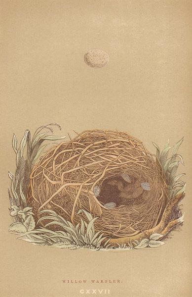 BRITISH BIRD EGGS & NESTS. Willow Warbler. MORRIS 1896 old antique print