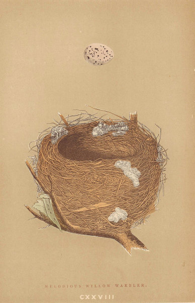BRITISH BIRD EGGS & NESTS. Melodious Willow Warbler. MORRIS 1896 old print