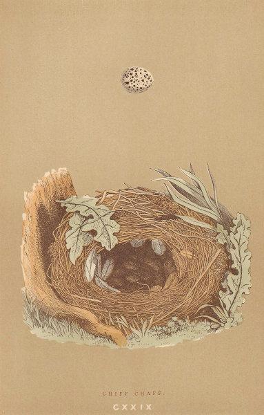 BRITISH BIRD EGGS & NESTS. Chiff Chaff. MORRIS 1896 old antique print picture