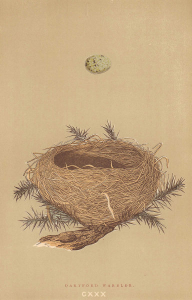 BRITISH BIRD EGGS & NESTS. Dartford Warbler. MORRIS 1896 old antique print
