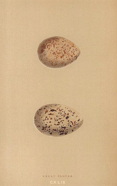 BRITISH BIRD EGGS. Great Plover. MORRIS 1896 old antique vintage print picture