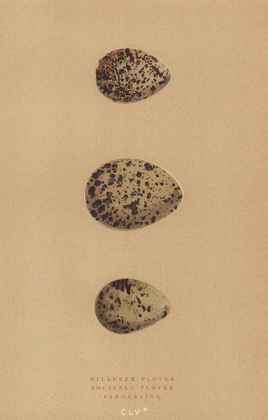 BRITISH BIRD EGGS. Killdeer Plover. Sociable Plover. Sanderling. MORRIS 1896