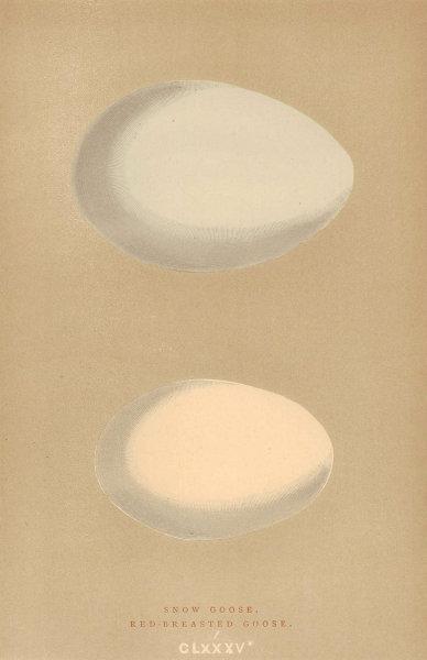 BRITISH BIRD EGGS. Snow Goose. Red-Breasted Goose. MORRIS 1896 old print