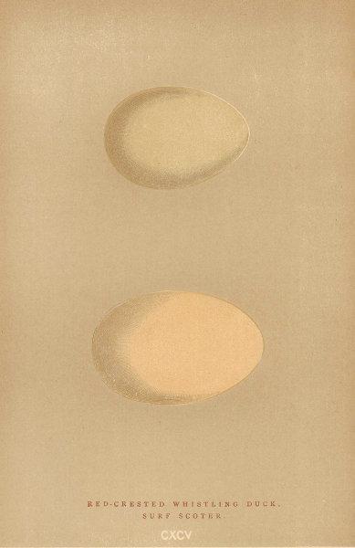 BRITISH BIRD EGGS. Red-Crested Whistling Duck. Surf Scoter. MORRIS 1896 print