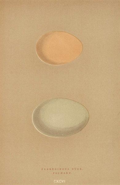 BRITISH BIRD EGGS. Ferruginous Duck. Pochard. MORRIS 1896 old antique print