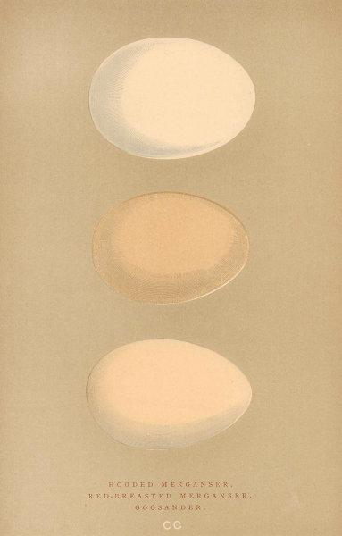 BRITISH BIRD EGGS. Hooded & Red-breasted Merganser. Goosander. MORRIS 1896