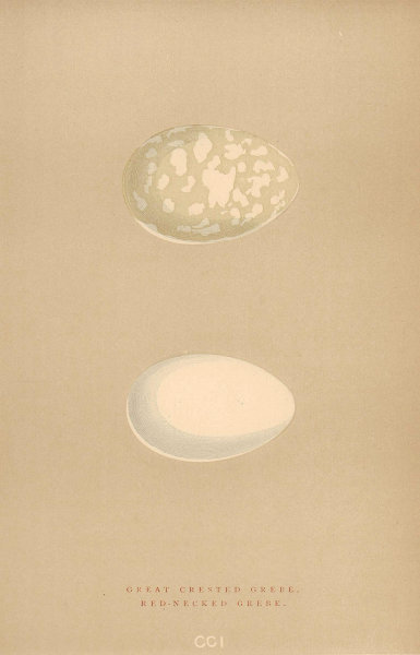 BRITISH BIRD EGGS. Great Crested Grebe. Red-Necked Grebe. MORRIS 1896 print