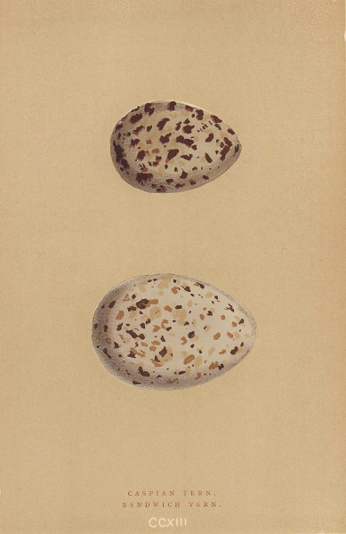 BRITISH BIRD EGGS. Caspian Tern. Sandwich Tern. MORRIS 1896 old antique print