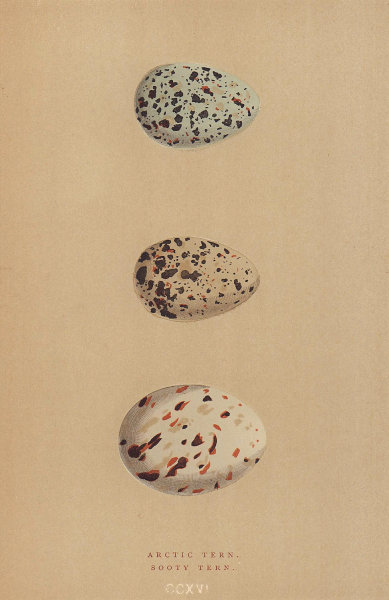 BRITISH BIRD EGGS. Arctic Tern. Sooty Tern. MORRIS 1896 old antique print