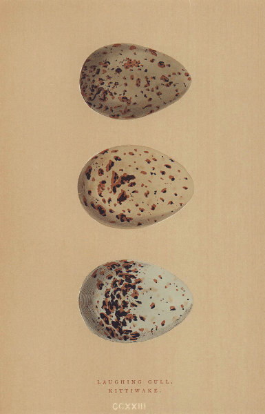 BRITISH BIRD EGGS. Laughing Gull. Kittiwake. MORRIS 1896 old antique print