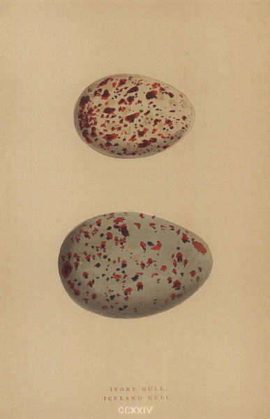 BRITISH BIRD EGGS. Ivory Gull. Iceland Gull. MORRIS 1896 old antique print
