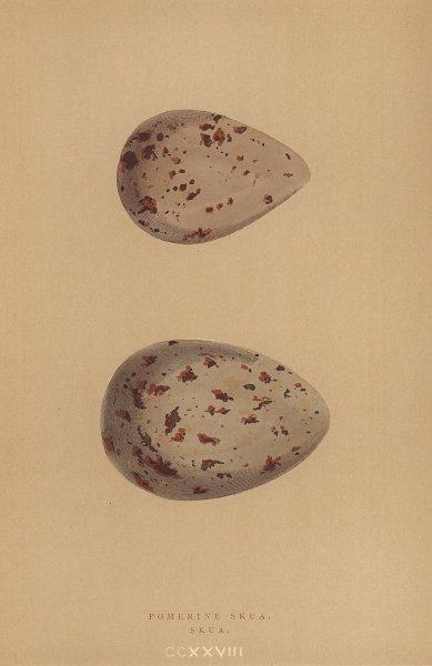 BRITISH BIRD EGGS. Pomerine Skua. Skua. MORRIS 1896 old antique print picture
