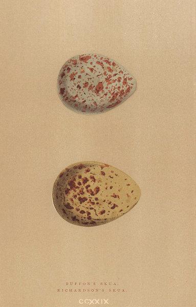 BRITISH BIRD EGGS. Buffon's Skua. Richardson's Skua. MORRIS 1896 old print