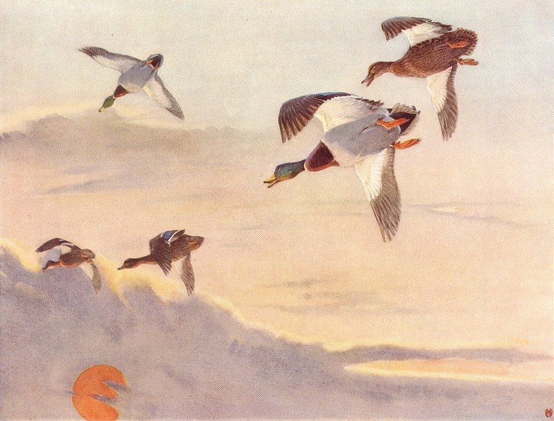 """Associate Product MALLARD. """"Morning Flight"""" by WINIFRED AUSTEN 1935 old vintage print picture"""
