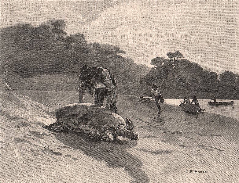 Associate Product Turtle-catching. Australia 1888 old antique vintage print picture