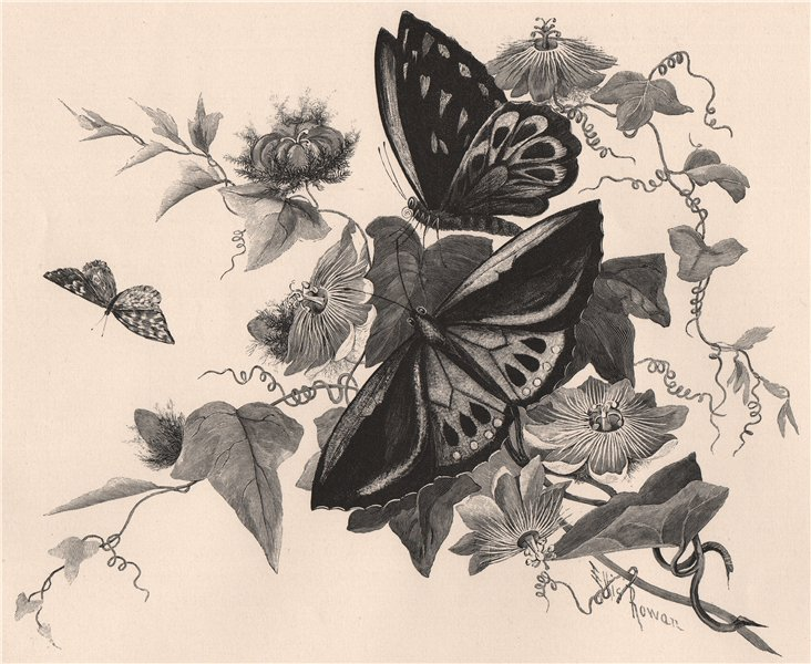 Associate Product Passion flower and butterflies. Australasia 1888 old antique print picture