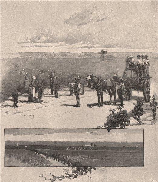 Associate Product Vineyard near Singleton. HUNTER VALLEY. Australia 1888 old antique print