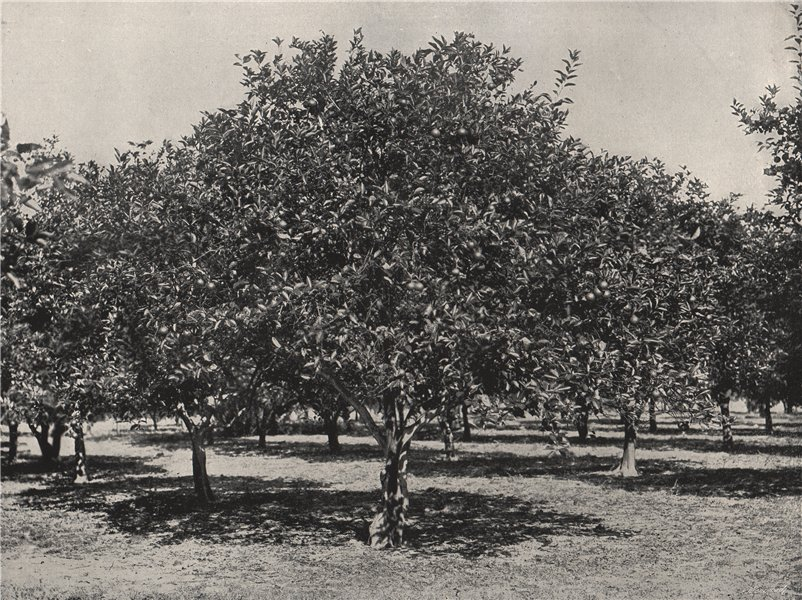 Associate Product ST. AUGUSTINE. An orange grove near the city. Florida 1895 old antique print