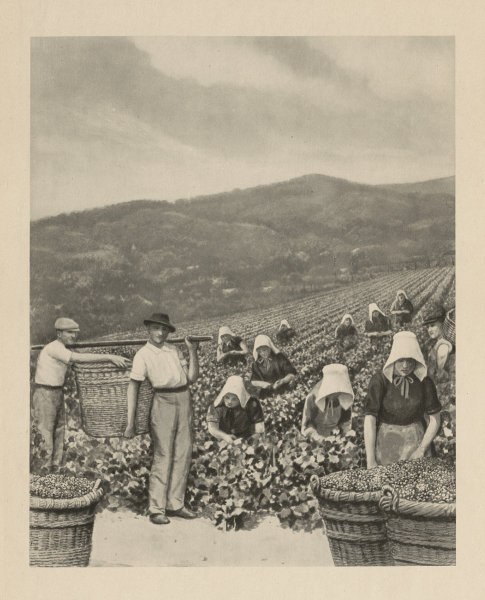 Associate Product Picking grapes in a Champagne vineyard 1944 old vintage print picture