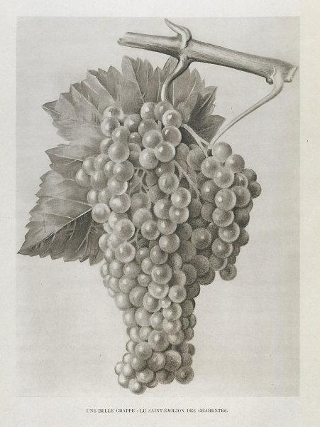 Une belle grappe: Le Saint-Emilion des Charentes. Bunch of Cognac grapes 1947